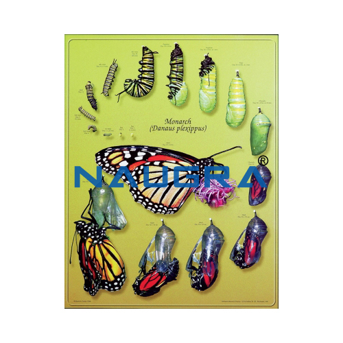 Biology Lab Monarch Butterfly Life Cycle Poster