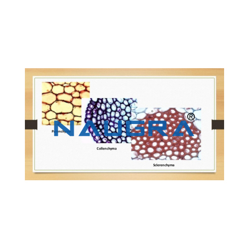 Biology Lab Tissue Chlorenchyma Prepared Slide