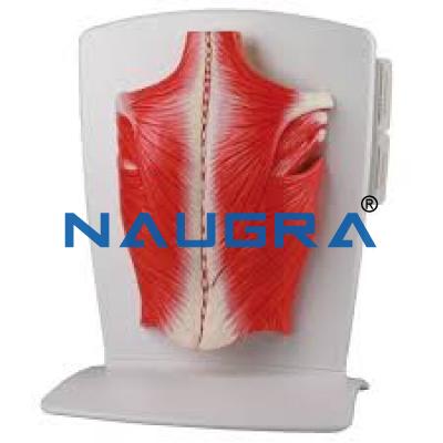 Back Muscle Model