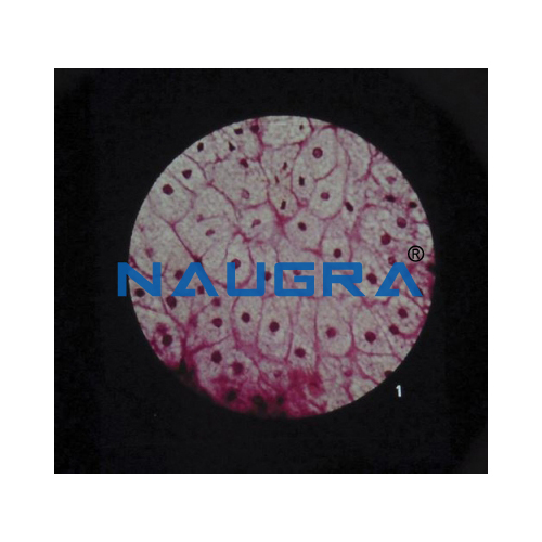 Biology Lab Ultra Structure of Animal Cells Microslide