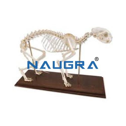 Educational Lab Cat Skeleton Model