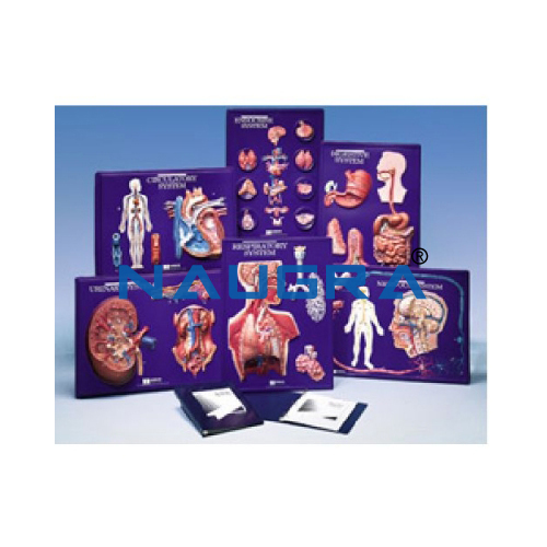 Biology Lab Human Body System Model