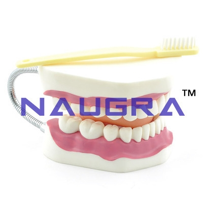 Large Teeth Model with Brush