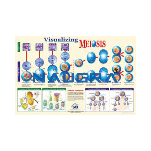 Biology Lab Visualising Meiosis Poster