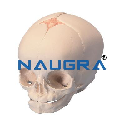 Foetal Child Skull Model