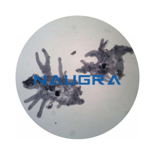 Biology Lab Protozoa Amoeba Prepared Slide
