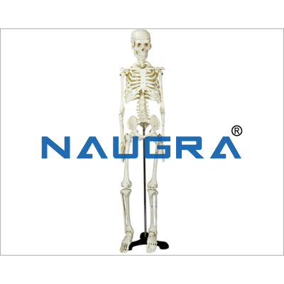 Human Skeleton Medium Tall 85cm