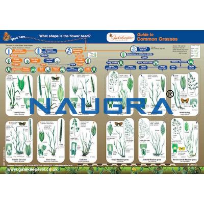 Key to Identifying Common Grasses