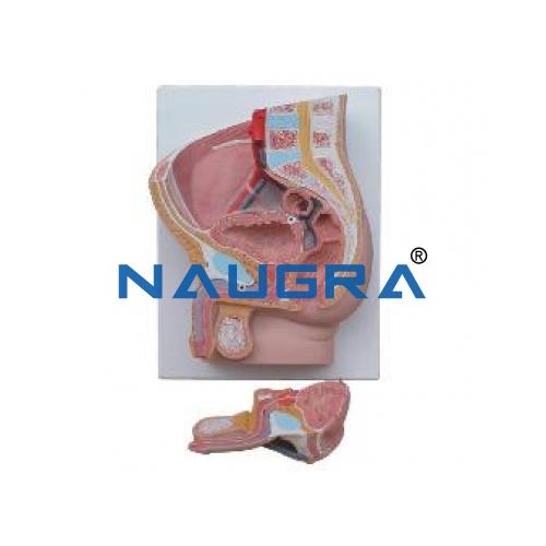 Human Male Pelvis Section 2 Part