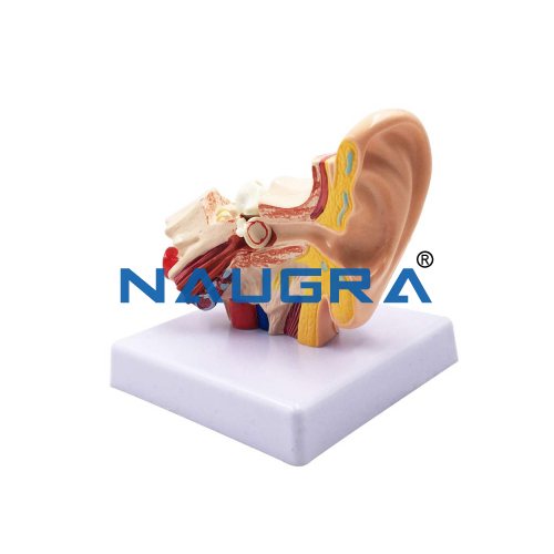 Educational Lab Human Internal Ear Model