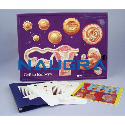 Cell to Embryo Model